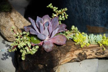 transplanting basics california cactus center. Black Bedroom Furniture Sets. Home Design Ideas