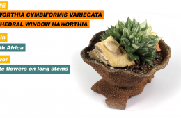 Haworthia cymbiformis variegata aka Window Plant, Cathedral Window Haworthia