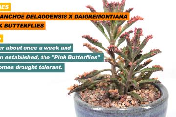 Kalanchoe delagoensis x daigremontiana aka Pink Butterflies