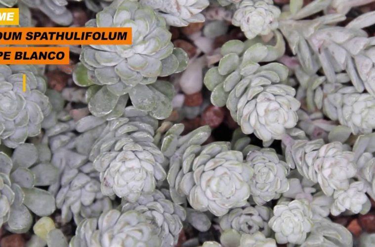 Sedum spathulifolum aka Cape Blanco