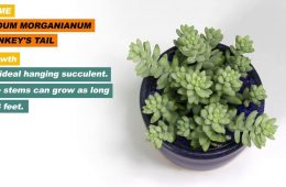 Sedum morganianum aka Donkey's Tail