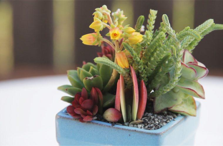 Beautiful Blue Mini Succulent Container Garden California Cactus